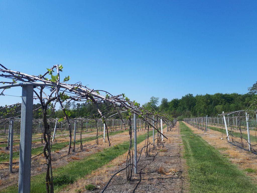 Plantacja Bednarczyk Berries